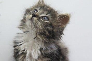 Precious the kitten needs a lifesaving operation